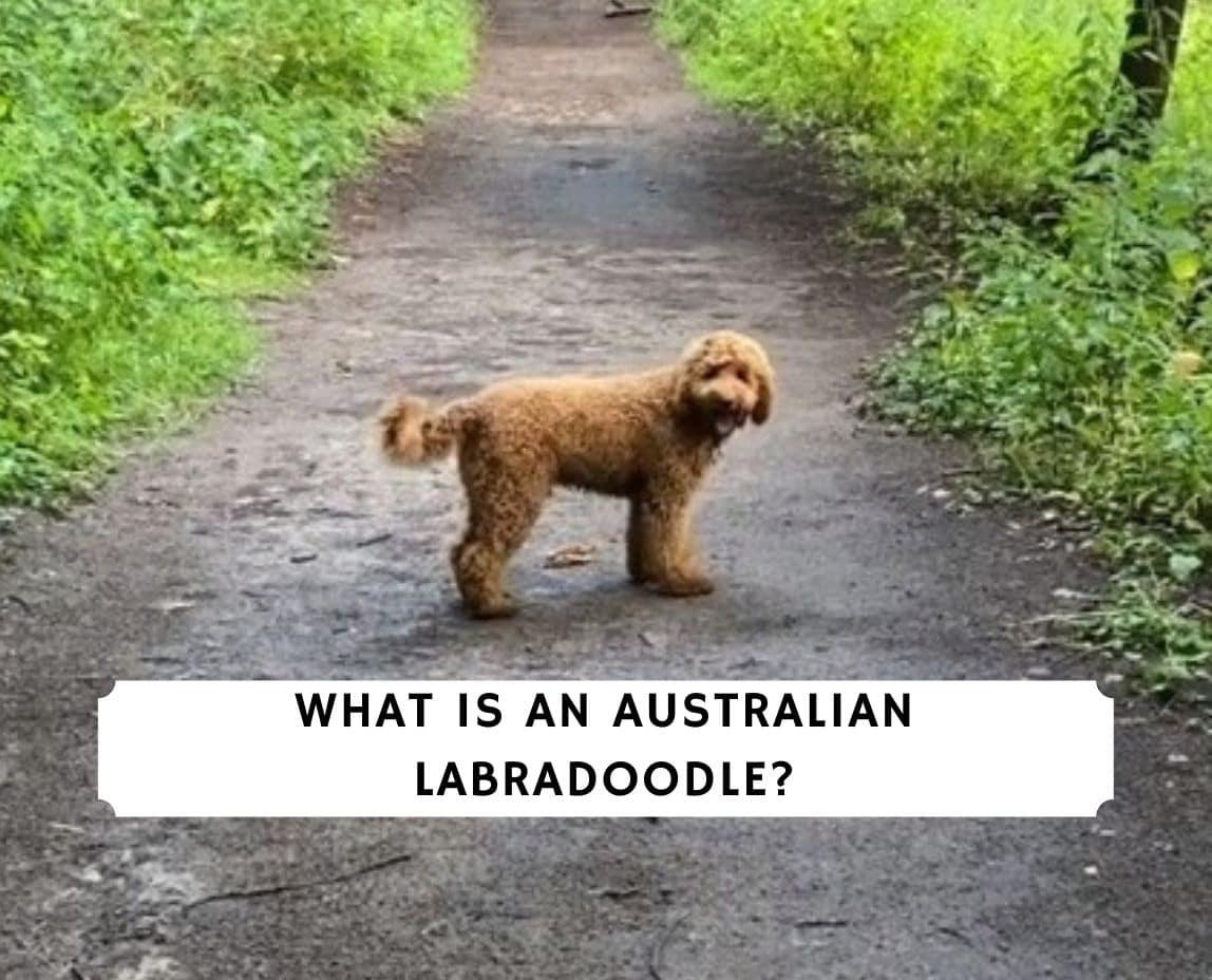 Was ist ein australischer Labradoodle? (2021 ...